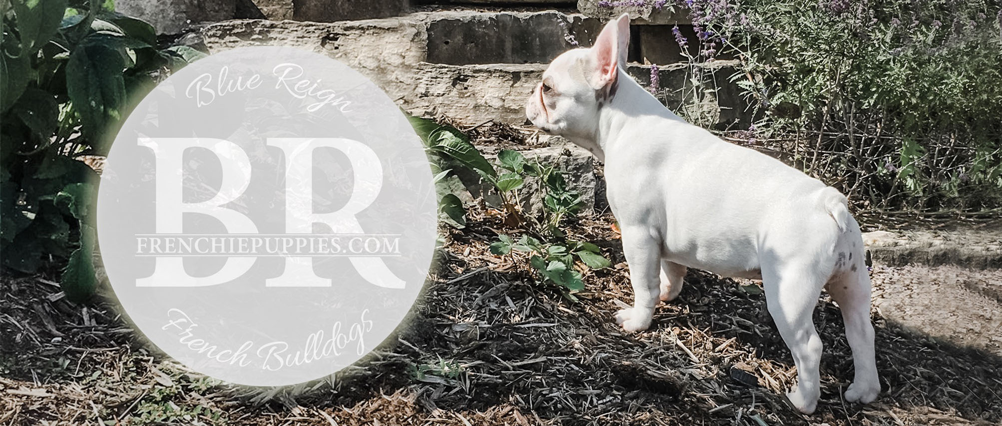 Blue Reign French Bulldogs frenchiepuppies.com