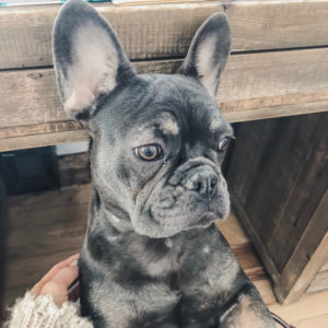 Blue and Tan French Bulldog