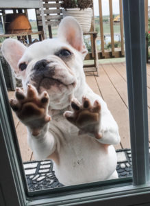 Extreme Pied French Bulldog